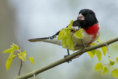 Rose breasted Grosbeak. Perched on a branch Stock Images