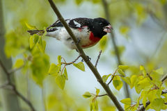 Rose breasted Grosbeak Stock Photography
