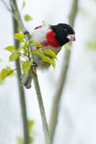 Rose breasted Grosbeak Royalty Free Stock Photo