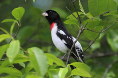 Rose-breasted Grosbeak (Pheucticus ludovicianus) Royalty Free Stock Photo