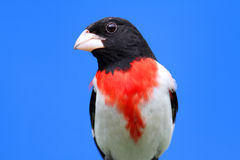 Rose-breasted Grosbeak (Pheucticus ludovicianus) Stock Photography