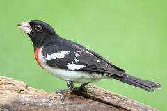 Rose-breasted Grosbeak (Pheucticus ludovicianus) Stock Photo