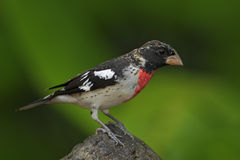 Rose-breasted Grosbeak, Pheucticus ludovicianus, exotic tropic gray and red bird form Panama Royalty Free Stock Photography