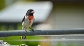 Rose Breasted Grosbeak - Pheucticus ludovicianus. Stock Image