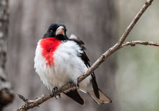 Rose Breasted Grosbeak - Pheucticus ludovicianus. Stock Photo