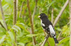 Rose-breasted Grosbeak Royalty Free Stock Photo