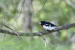 Rose-Breasted Grosbeak -Pheucticus ludovicianus Stock Photo