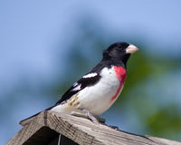 Rose-breasted Grosbeak on watch Royalty Free Stock Photography