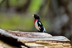 Rose Breasted Grossbeak Male. Royalty Free Stock Images