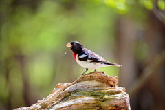 Rose Breasted Grossbeak Male. Royalty Free Stock Photography