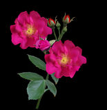 Rose-brier-raceme-dark-cherry-fon-06-16-r Royalty Free Stock Photography
