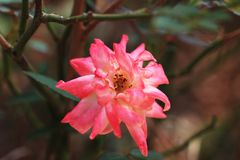 Rose. Bright color, smell aromatic, is fragrant and with ornamental flowers. Branches into a half-climbing-like, according to the frame climbing into a variety Royalty Free Stock Photography