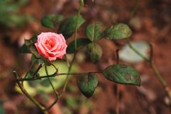 Rose. Bright color, smell aromatic, is fragrant and with ornamental flowers. Branches into a half-climbing-like, according to the frame climbing into a variety Royalty Free Stock Photo