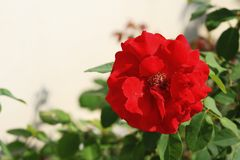 Rose. Bright color, smell aromatic, is fragrant and with ornamental flowers. Branches into a half-climbing-like, according to the frame climbing into a variety Stock Image