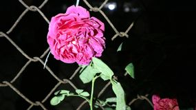 Rose bright in the night. royalty free stock photos