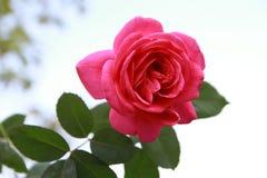 Rose brillantemente en el jardín Imagen de archivo