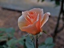 rose brzoskwiniowe Zdjęcie Royalty Free