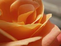 rose brzoskwiniowe Obrazy Royalty Free