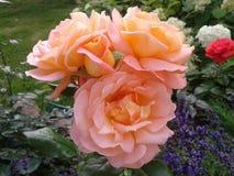 rose brzoskwiniowe Fotografia Stock