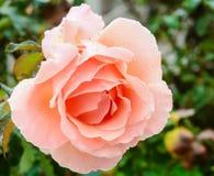 rose brzoskwiniowe Zdjęcia Stock