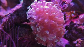Rose bubble tip anemone. Saltwater tank, sea world. Cherry blossom acropora, pink bubble tip anemone in aquarium. Soft pulsing coral in underwater world. Footage stock video