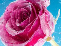 Rose with bubbles on a blue background Stock Photos