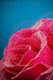 Rose with bubbles on a blue background Royalty Free Stock Images