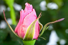 Rose bud. Explosive bud of beautiful rose flower Stock Images