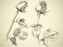 Rose bud. Sketch, vector illustration Stock Photography
