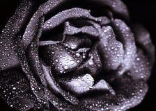 Rose bud Stock Photo