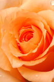 Rose bud. Orange rose bud close up stock images