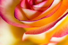 Rose Bud Abstract Background Royaltyfri Bild