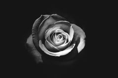 Rose bud in black and white Stock Photos