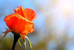 Rose bud on blue sky background Royalty Free Stock Photography