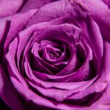 Rose bud close-up. Stock Image