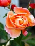 Rose Bud del té subió, primer de los pétalos fotos de archivo libres de regalías