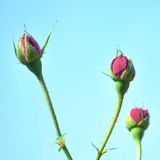 Rose bud flowers Royalty Free Stock Images