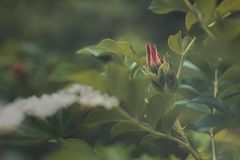 Rose bud in the forest royalty free stock photography