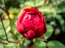 Rose bud in a garden royalty free stock photo
