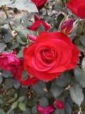 Rose Bud Garden Nature Plant rossa fotografia stock libera da diritti