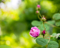 Rose bud on the green background Royalty Free Stock Photo