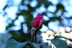 Rose Bud i detslut-upp fotoet av en delikat rosknopp i trädgården Royaltyfri Fotografi