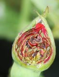 Rose bud with lice Royalty Free Stock Image