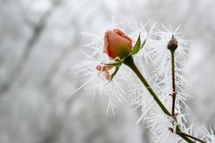 Rose bud with long frozen ice needles from the winter hoar frost in winter, greeting card for valentine`s day with copy space. Selected focus, narrow depth of stock image
