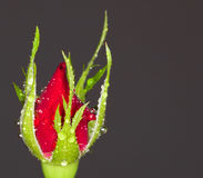 Rose bud Stock Images