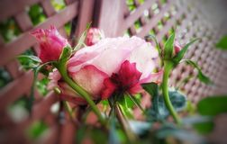 Rose bud royalty free stock photography