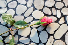 Rose bud on pebbles wall. As background Royalty Free Stock Image
