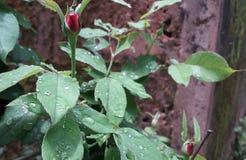 Rose bud in rain. Rose  bud rain droplet morning click new rai3 rainy cute freshness royalty free stock image