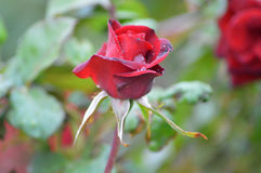 Rose bud in the rain Royalty Free Stock Photo