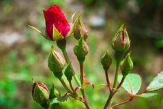 Rose Bud With Raindrop rouge - photographie d'un bourgeon simple de rose de rouge photos libres de droits